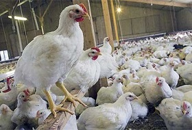 زنگ خطر ورود بیماری آنفلوانزا پرندگان به صدا درآمد